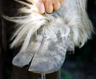 A draught horse with good hoof quality but long flared toes which have led to a single crack. Frequently removing the flare and relieving pressure from the base of the crack will restore this foot to normal over time.