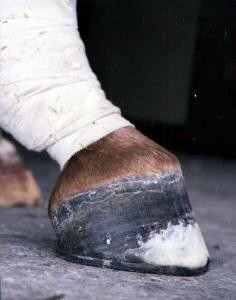 After surgery and toe extension with Equitane®, and fitting a graduated toe shoe. An exercise program started three weeks after surgery. A normal hoof/pastern angle is achieved over time.