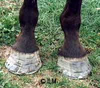 An example of flared feet with many hoof wall cracks. The rasp marks and attempts to stop the cracks are ineffective because they do not address the cause of the cracks which is the flared foot. Until the flare is removed the feet will continue to crack.