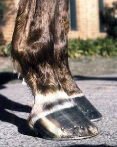The horse has a broken back hoof-pastern angle, this leads to increased pressure up the front of the leg and increased stretch or strain to the tendons at the back of the leg, in other words it contributes to osteoarthritis, shin soreness, carpal bone and fetlock joint problems and bowed tendons. These feet are well overdue for shoeing and the shoes look untidy. This probably means they are loose. This horse already had a carpal bone chip fracture when this photo was taken.